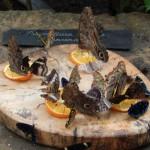 Fütterung der Raubtiere - auch Schmetterlinge brauchen Futter.